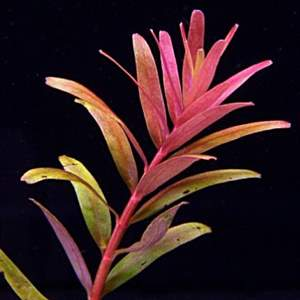 Rotala sp. pink