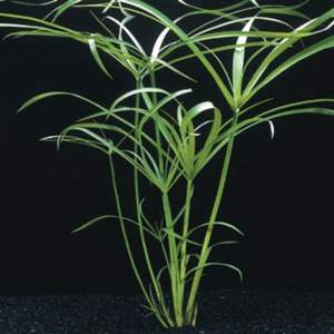 Cyperus alternifolius (Papirus)