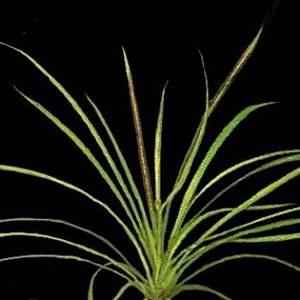 Echinodorus tenellus var. Amano Pussilus