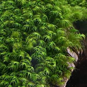 Fissidens fontanus (Phoenix Moss)